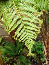 TREE FERN SPORES C cooperi crested