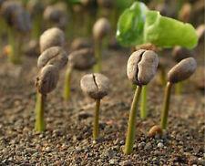 COFFEA ARABICA - 10 semi freschi di Caffè Arabica