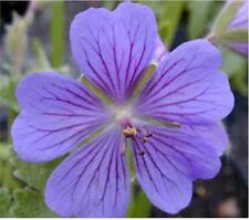 60+ GERANIUM PUSILUM BLUE ORCHID CRANESBILL FLOWER SEEDS