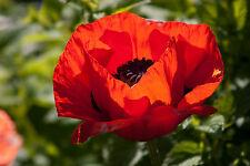 1000 Red TURKISH POPPY Heirloom Papaver Somniferum Flower Seeds *Combined Ship
