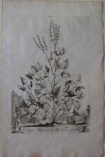 1696 ACETOSA ROMANA ROTUNDIFOLIA original Abraham Munting rumex acetosa botanica