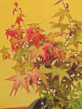 Pianta Acero Palmato Rosso Astropurpureum Giapponese