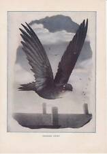 1904 Antique Print - Chimney Swift 1900-1949 Birds Vintage Neltje Banchan