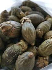 DRIED YOUNG BETEL NUTS Areca Catechu nut FREE PRIORITY SHIPPING US SELLER