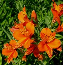 ORANGE RED YELLOW PERUVIAN LILY ALSTROEMERIA AURANTIACA Hardy Perennial 6 Seeds