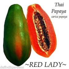 10 Seeds RED LADY Dwarf Thai PAPAYA short tree RED YUMMY FLESH imported Seeds