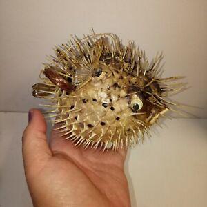 "6"" porcupine fish. Tiki Preserved marine life taxidermy. Beach home decor gift"