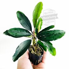 Giant Bucephalandra Pot Board Leaf Green Bucep Wavy Rare Live Aquarium Plants
