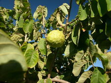 ANNONA CHERIMOLA alveolo 1 Pianta 1 Plant Cirimoia Chirimuya cherimoya