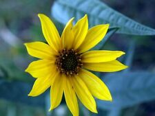 Helianthus maximiliani - Maximilian's Sunflower - 100 Seeds
