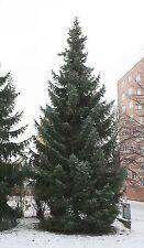1 Serbian Spruce Tree, Picea Omorika  Christmas Tree 20-30cm, Evergreen Needles