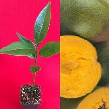 "Pouteria Lucuma Rare Super fruit Starter Plant Tree 7-10"""