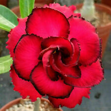 5 pcs Desert Rose Flower Adenium obesum Seeds #A077