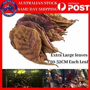10 X Large Indian Almond Leaves Terminalia Catappa Ketapang Shrimp Fish Aquarium