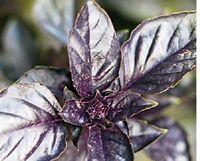 Basil, Purple Dark Opal Basil seeds - Heirloom & Non GMO