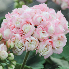 Geranium Bonsai Apple Blossom Rosebud Pelargonium Potted Balcony N 20 Pcs Seeds