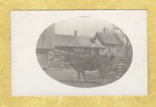 RPPC 1908-39 real photo postcard STEER IN FRONT OF FARM HOUSE Linwood ?