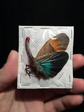 Entomologie Insecte Superbe Pyrops pyrorhyncha A1 de Malaisie!!
