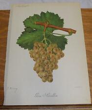 1901 Antique COLOR Print///GROS SEMILLON GRAPES