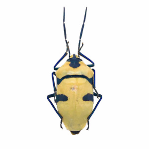 Man Faced Stink Bug (eucorysses grandis) Insect Collector Specimen