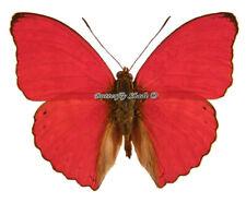 Unmounted Butterfly/Nymphalidae - Cymothoe sangaris sangaris, male, CAR