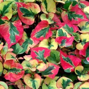 HOUTTUYNIA CORDATA FLAME HARLEQUIN PLANT PERENNIAL GROUND COVER MARGINAL PLANT