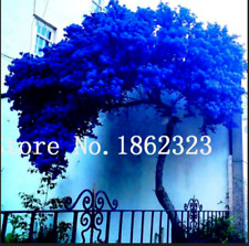 Jacaranda Mimosifolia Tree 50 Pcs Seeds Flower Bonsai Plants Garden Shrubs New