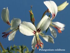 Pelargonium Exihbens (succulentes)