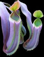 25 Rare Pitcher Plant CARNIVOROUS Flower Seeds Flytrap Bug Eating Exotic Fly Tra