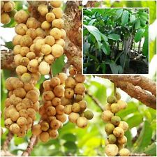 "Lansium Domestic Tree plant grafted Longkong Fruit ""Tanyongmad"" Tall 18"""