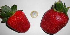 Riesen - Erdbeeren Obst Gemüse Kräuter Pflanzen für den Balkon Garten Blumentopf