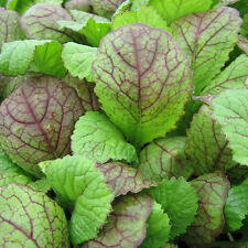 Mustard Greens - Red Giant -  250 Seeds