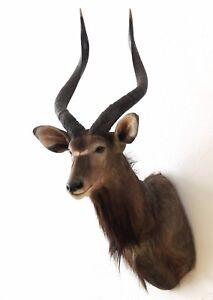 Nyala Antilope, Kopf-Schultermontage, shoulder mounting, Tierpräparat Trophäe
