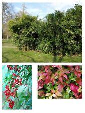 immergrün winterhart Samen exotisch ganzjährig Zierpflanze 3 TOLLE BAMBUS-SORTEN