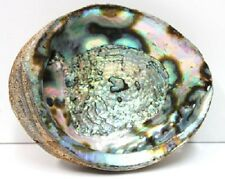 """Genuine Abalone Shell with Blue & Green Tones 6.75 - 7"""" Smudging,Seashells,Beach"""