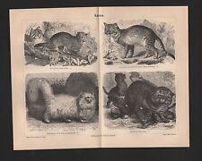 Litho 1888: Cats. Dwarf Cat exerdsing Cat Angora Cat Wild Cat