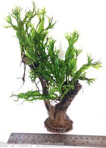 """Microsorum Pteropus """"Windelov"""" Java Fern Jungle Tree Plant Moss co2 Marimo #2"""