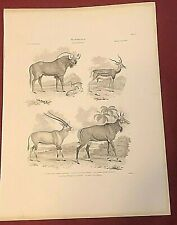ANTELOPE GNU ORYX GRIFFITH 1851 Zoological Animal Book Print