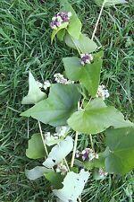 8 lbs BUCKWHEAT Seeds Deer Plot, Turkey, Pheasant, Quail, Forage Seed Honey Bee