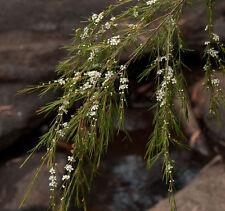 Flax Leaf Heath Myrtle (Baeckea linifolia) Native X 250 Seeds