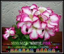 M7❀●⊱ ADENIUM OBESUM MINI SIZE ROSE ❁ WHITE PINK ❁ HOUSE PLANT BONSAI SEEDS ⊰❀