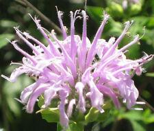 Bergamot Wild Bee Balm Monarda Fistulosa - 5,000 Bulk Seeds