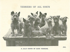 A Jolly Crowd Of Cairn Terriers 1930'S Vintage Dog Art Print Photo Bonus Pic