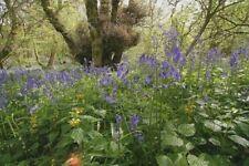 Semillas De Flores Silvestres-inglés Bluebell - 200 semillas