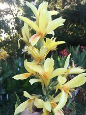 canna lily cliffys spotted tongue yellow 10 Seeds