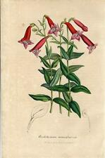Stampa antica FIORI Pentstemon miniatus botanica 1847 Old antique print flowers