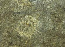 Trilobit MIRASPIS MIRA Lodenice Spicaty Hill Silur Tschechien