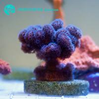 Live Purple Stylophora SPS Coral Frag (Saltwater)