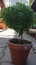 Buschbasilikum Mini-Basilikum mit kleinen Blättern super als Hochstämmchen