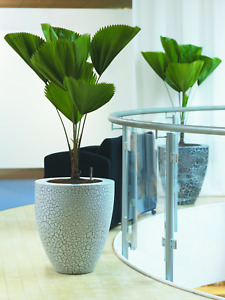 Licuala grandis (Ruffled Fan Palm Tree) 5 Seeds   RARE Indoor House Plant   UK